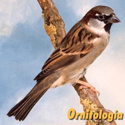 Gorrión común hembra - Ornitología Práctica