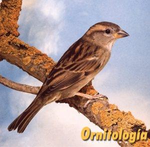 Gorrión común macho - Ornitología Práctica