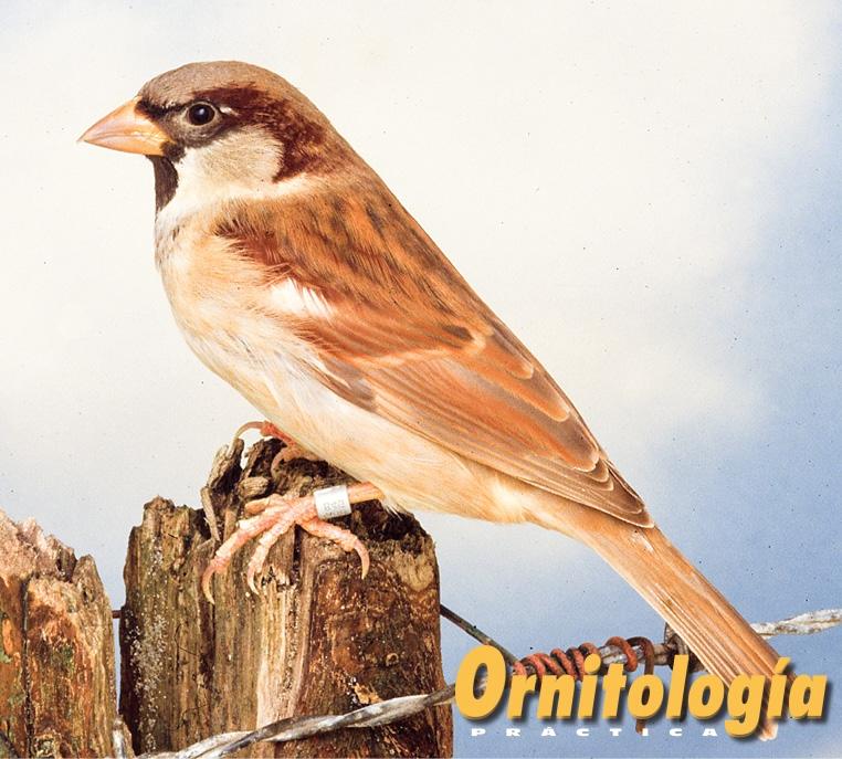 Gorrión común Bruno - Ornitología Prática