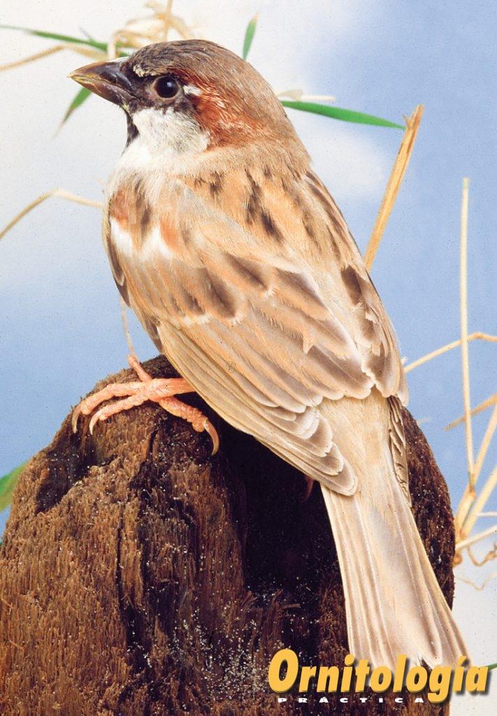 Gorrión común Ágata - Ornitología Prática