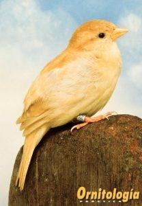Gorrión común Isabela - Ornitología Prática