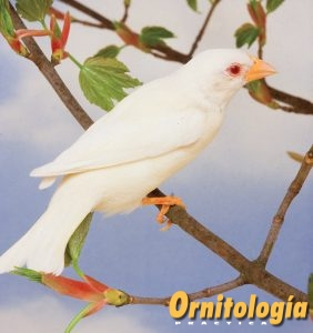 Gorrión común Albino - Ornitología Prática