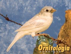Gorrión común Opal - Ornitología Prática