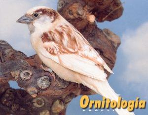 Gorrión común Phaeo - Ornitología Prática