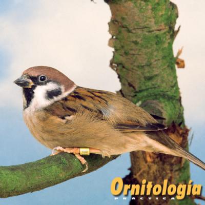 gorrión común - ornitología practica