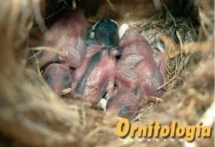 Gorriones creciendo en el nido