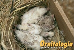 Gorriones con su primer plumaje dentro del nido