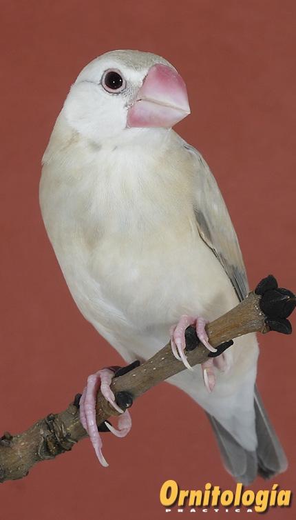 Jóven Padda ágata en plumaje juvenil.