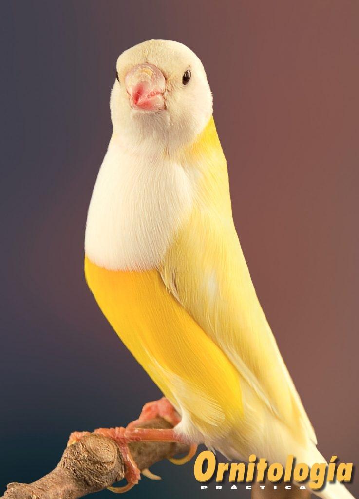 Macho Pastel doble dilución, pecho blanco, máscara negra. Expresa la casi total inhibición eumelánica y la total inhibición feomelánica en todo el plumaje, incluido el de la máscara, la cual presenta un tenue tono grisáceo, debido a la acción conjunta de las mutaciones Pastel y Pecho Blanco. Aviario: José Barrera Esparragoso.