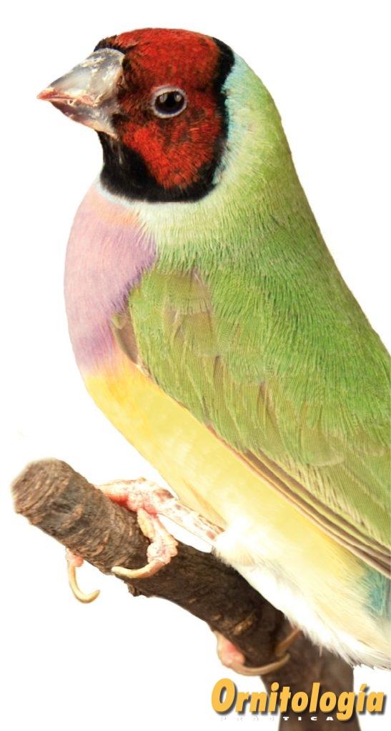 Hembra clásica de máscara roja. se puede apreciar la diferente pigmentación del plumaje de la máscara respecto al macho, motivada por la distinta estructura en cada sexo de dicho plumaje. Aviario: Juan Fernández Collado.