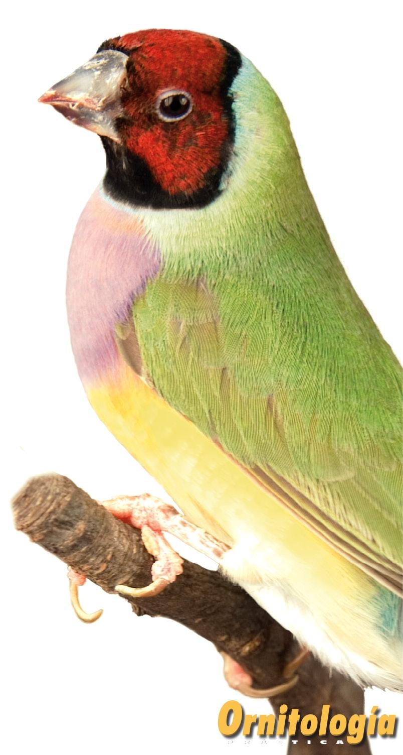 Diamante De Gould Ornitología Práctica