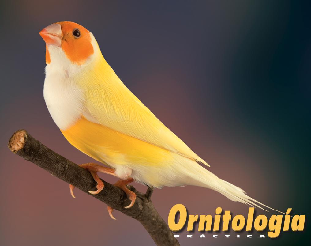 Macho Pastel doble dilución de pecho blanco y máscara naranja, la cual presenta un color muy vivo ante la ausencia de feomelanina motivada por la mutación Pecho blanco. Aviario: Carmen Barea.