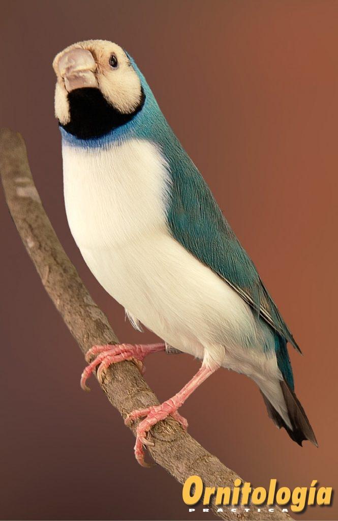 """Macho azul pecho blanco máscara """"clara"""". Aviario: Carmen Barea. o """"crema"""", dada por la suma de inhibiciones del lipocromo y de la feomelanina ejercidos por los genes azul y pecho blanco."""