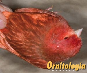 Macho Phaeo Rojo Intenso. - www.ornitologiapractica.com