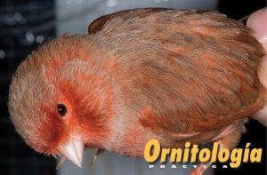 Macho Bruno Rojo Nevado portador de Phaeo. - www.ornitologiapractica.com