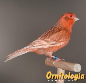 Macho Phaeo Rojo Marfil Intenso. - www.ornitologiapractica.com