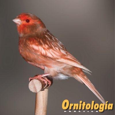 Macho Phaeo Marfil Nevado. - www.ornitologiapractica.com