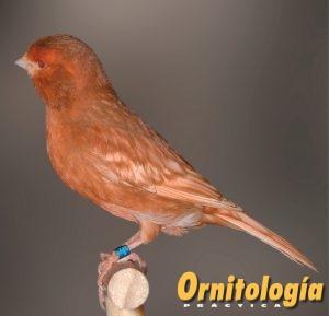 Hembra Phaeo Marfil Intenso - www.ornitologiapractica.com