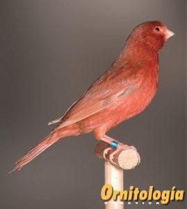 Macho Bruno Rojo Intenso portador de Phaeo. - www.ornitologiapractica.com
