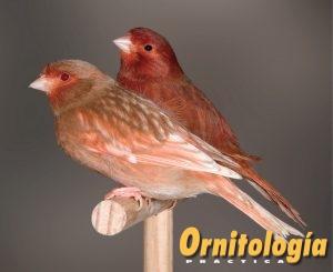Hembra Phaeo Rojo Nevada y Bruno Rojo Intenso. - www.ornitologiapractica.com
