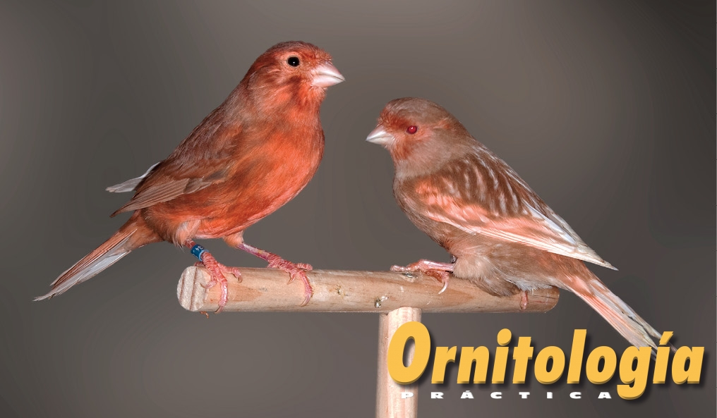 Macho Bruno Marfil Intenso portador de Phaeo y hembra Phaeo Marfil Nevada. - www.ornitologiapractica.com