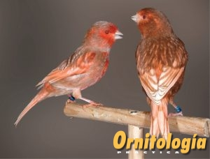 Macho Phaeo Rojo Nevado y hembra Phaeo Marfil Intensa. - www.ornitologiapractica.com