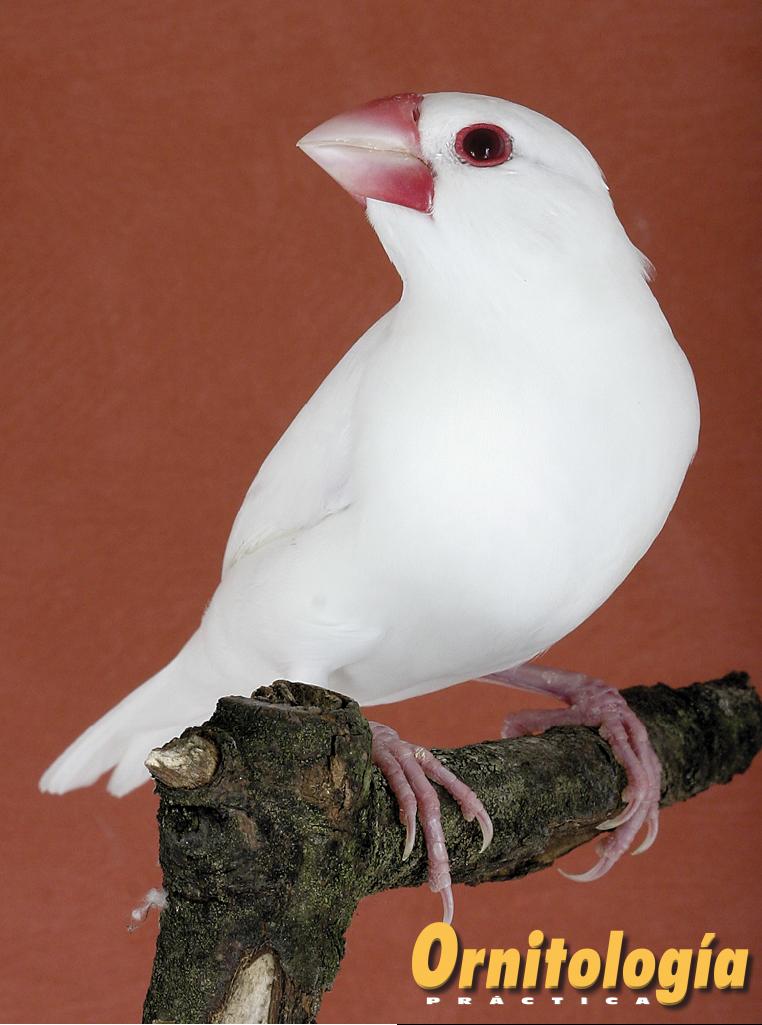 Padda albino