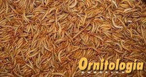 Tenebrios deshidratados - www.ornitologiapractica.com