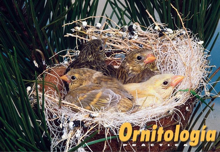 Una bella nidada de Lúganos. Delante, bruno diluido, a la izquierda, y bruno doble dilución, a la derecha. Detrás, color ancestral, a la izquierda, y bruno, a la derecha