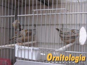 Canarios en periodo de cría - www.ornitologiapractica.com