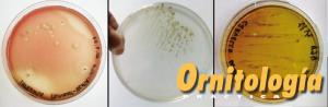 Antibiograma canarios - Ornitología Práctica